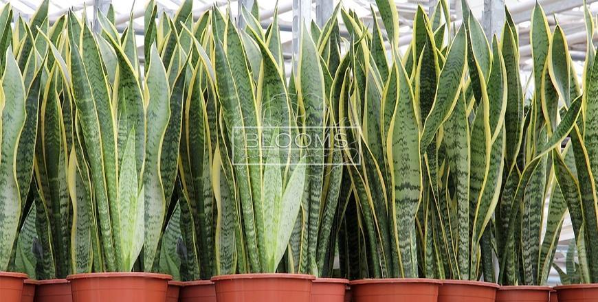 როგორ მოვუაროთ სანსივიერას (Sansevieria Laurentii)?