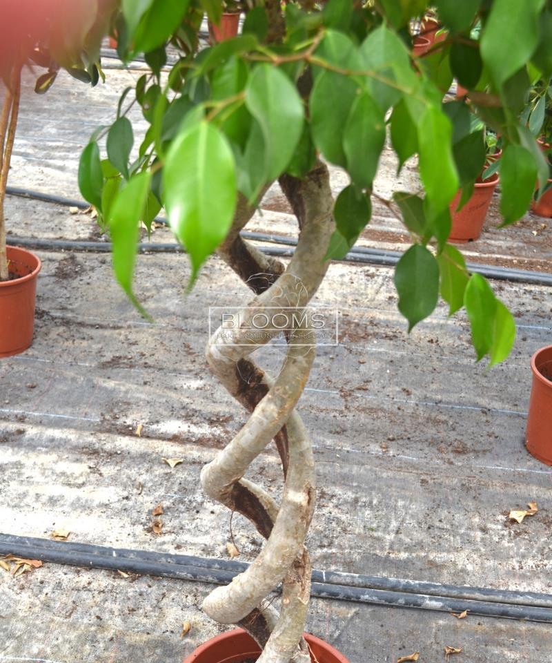 Ficus Benjamini spiral double