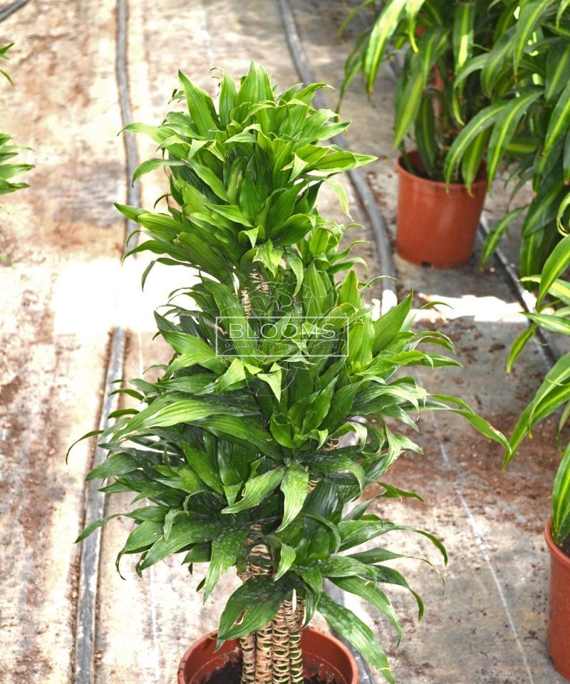 dracaena compacta (პატარა)