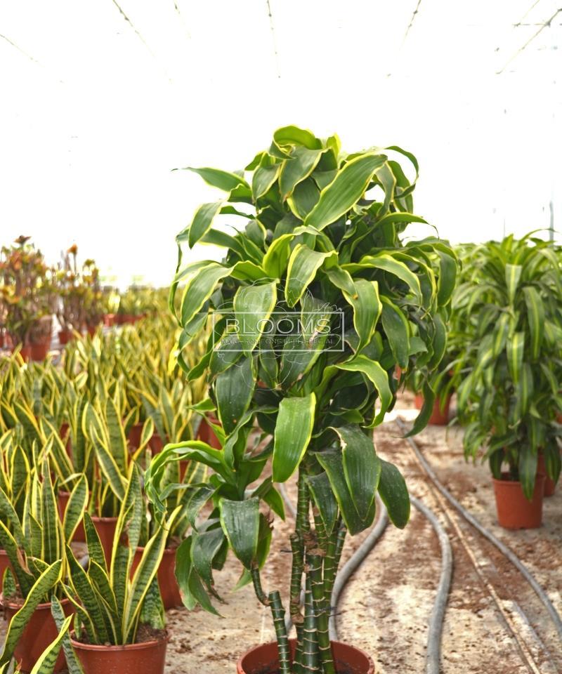 dracaena dorado branch
